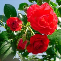 Rosal lloron scarlet meillandecor