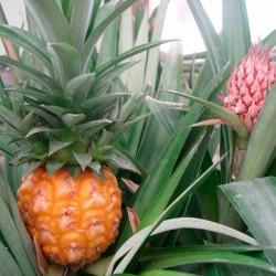 Ananas - piña tropical