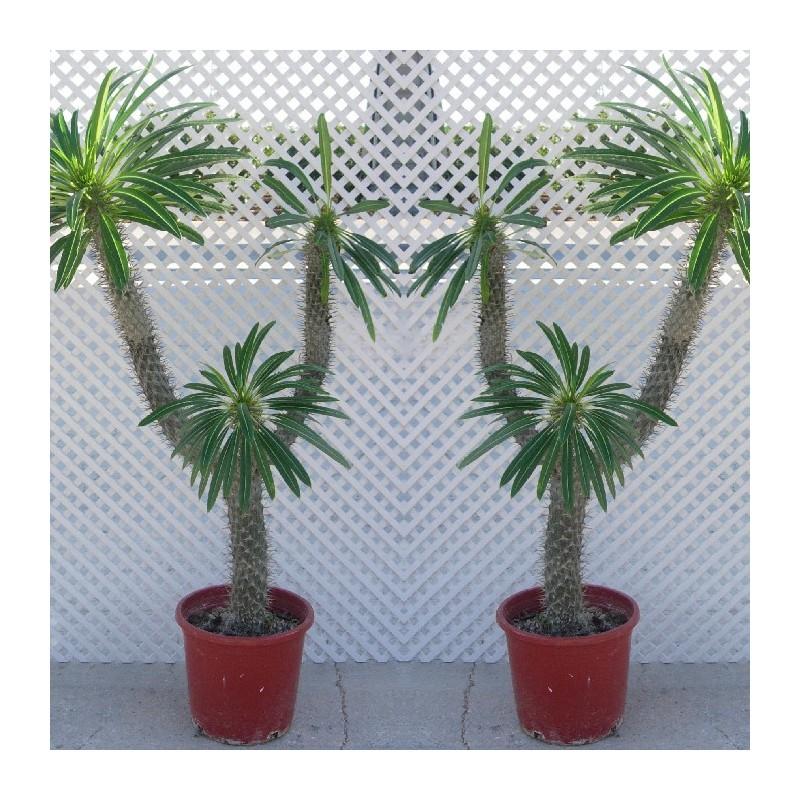 Pachypodium lameri