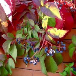 Parra virgen qinquefolia