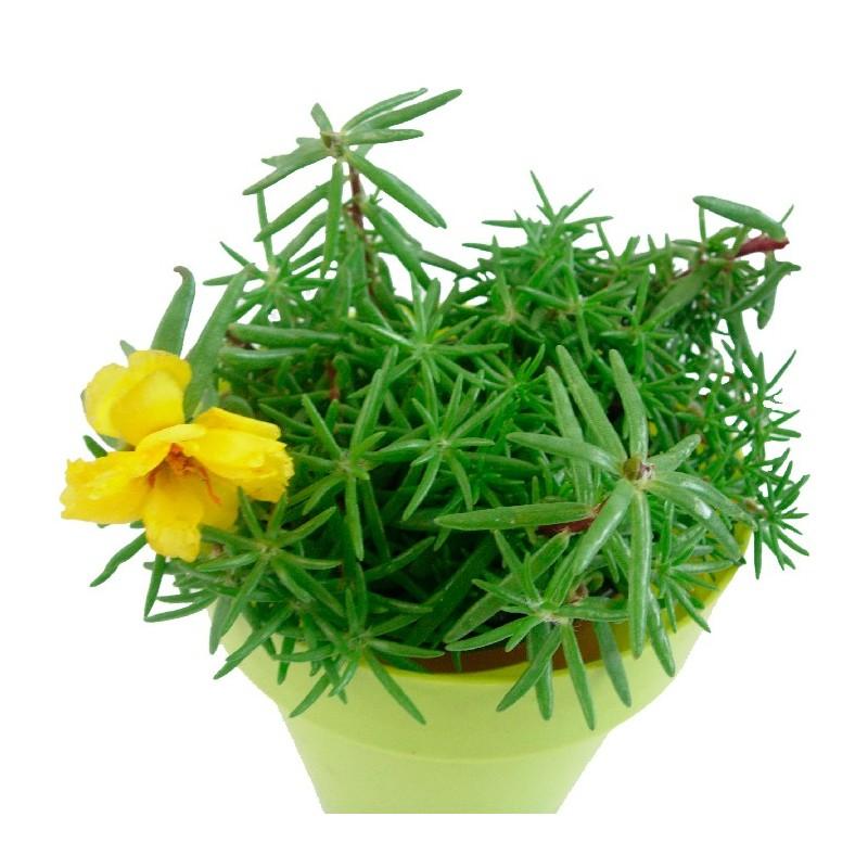 Portulaca gradiflora