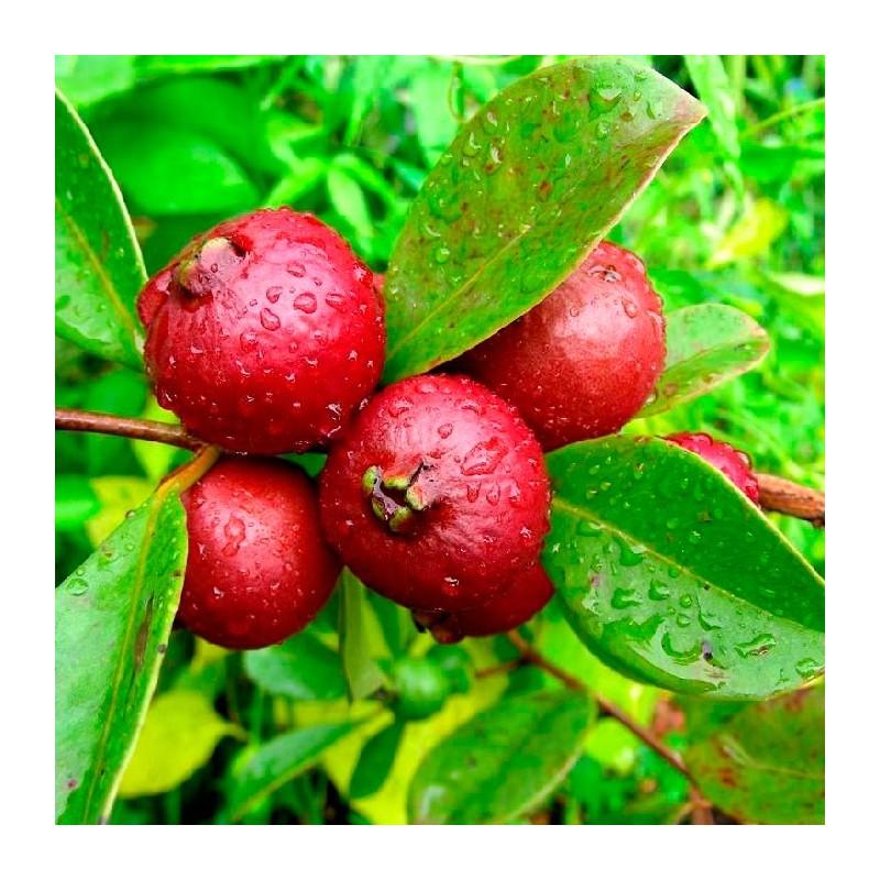Fruta planta precio