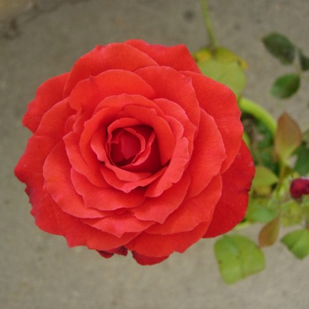 Rosal red devil