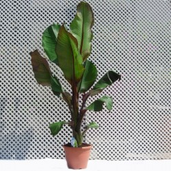 Musa ensete ventricosum maurelii