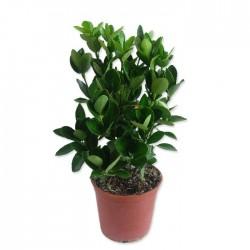 Euonymus japonica verde
