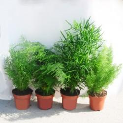 Asparagus variado