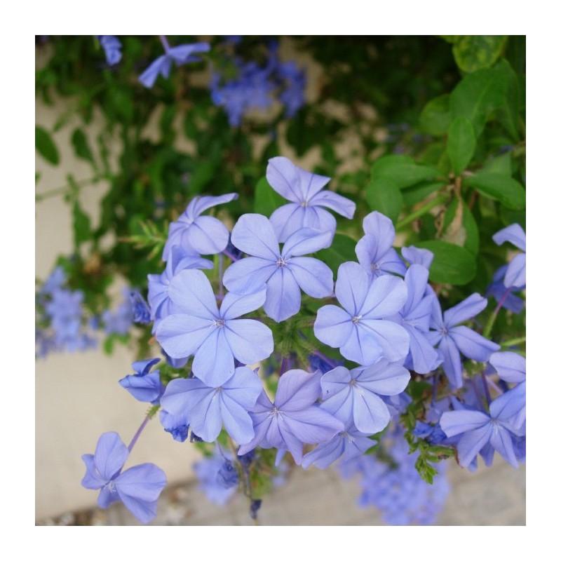 Plumbago capensis jazmin azul plumbago azul trepadora flor for Jazmin planta precio