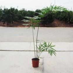Cyca debaoensis