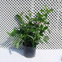 Viburnum lucidum