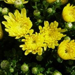 Crisantemo bola