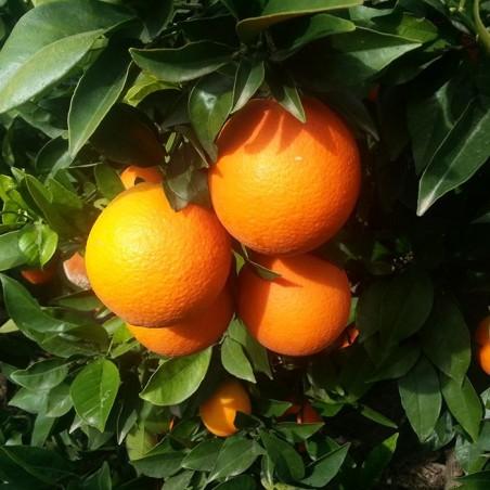 Naranja de Mesa Caja 10 y 15 Kg