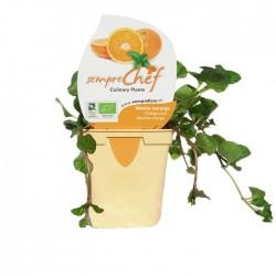 Mentha naranja ecológica