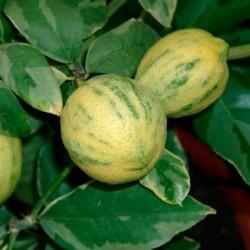 Limonero variegata