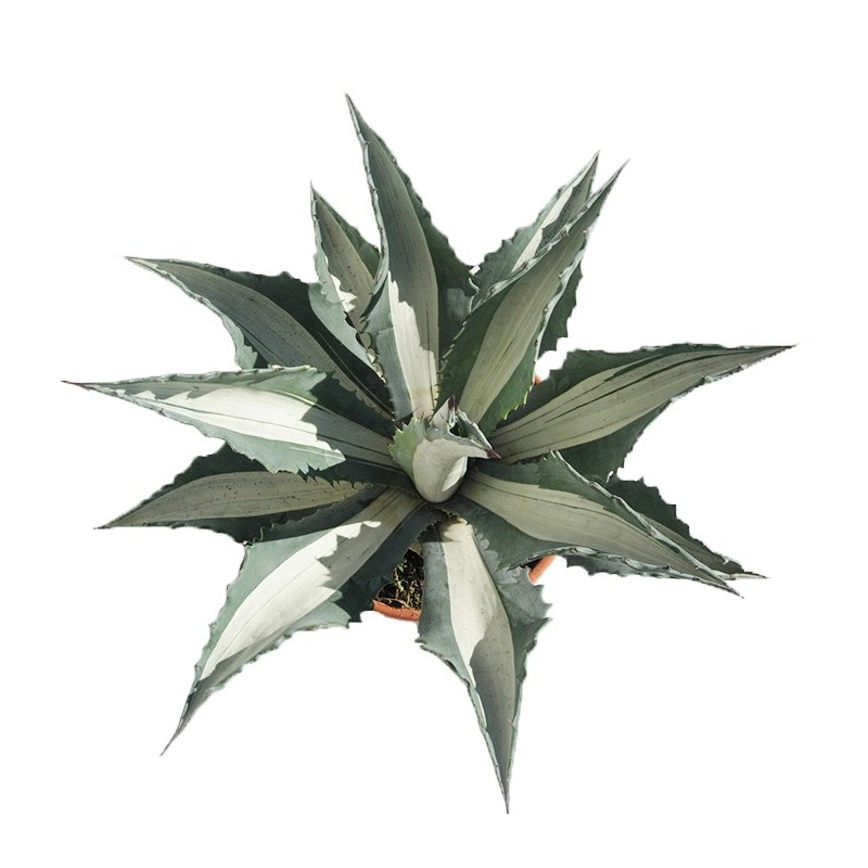 Agave spectabilis mediopicta