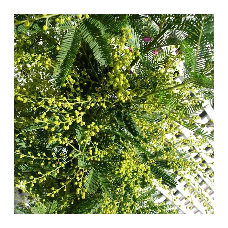 Mimosa Acacia Mimosa Autorizadaacacia Injertada Arboles