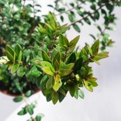 Myrtus tarantina