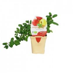 Mentha manzana ecológica