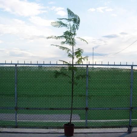 Jacaranda mimosaefolia
