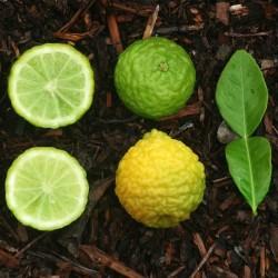 Citrus Hystrix