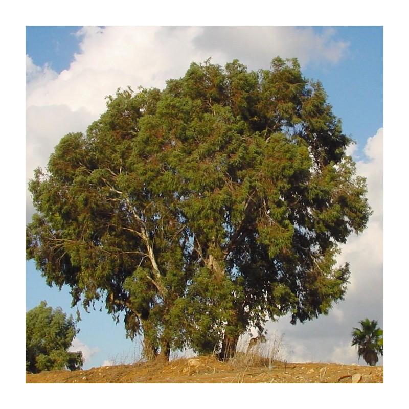 eucalyptus rostrata