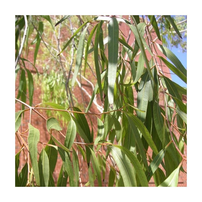 Eucalyptus citridora