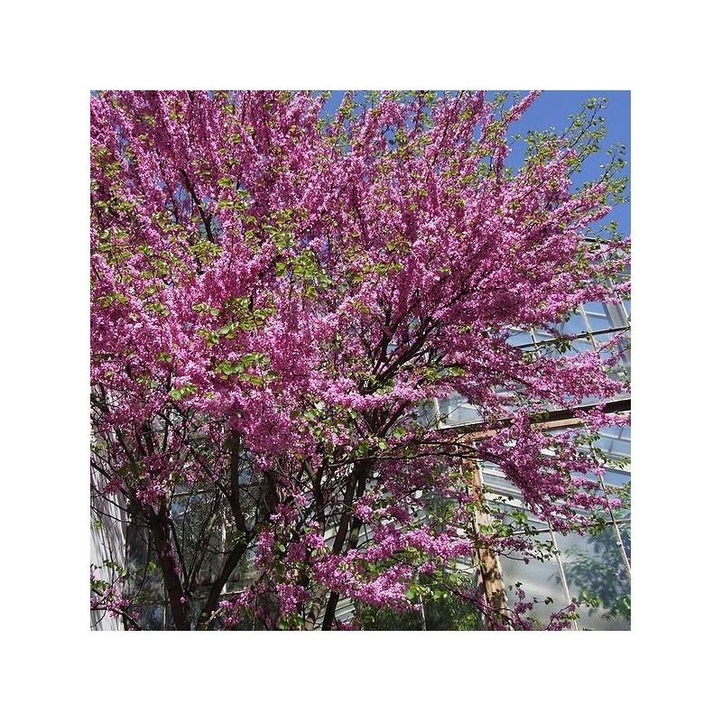 Cercis Siliquastrum árbol Del Amor árbol De Judas Arboles Bonitos
