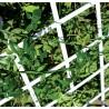 Celosia Plastica Extendible