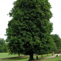 Plantas rboles aesculus hippocastanum for Lista de arboles de hoja caduca