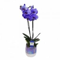 Orquídea Phalaenopsis Royal Purple
