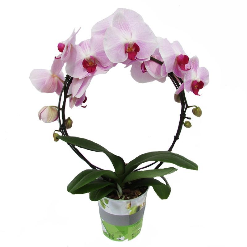 Image gallery orquideas phalaenopsis - Tiestos para orquideas ...