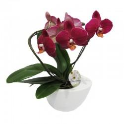 Orquídea phalaenopsis espiral