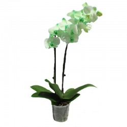 Orquidea phalaenopsis royal green