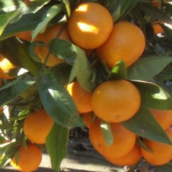 Mandarino hernandina