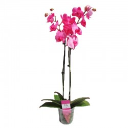 Orquidea phalaenopsis royal pink