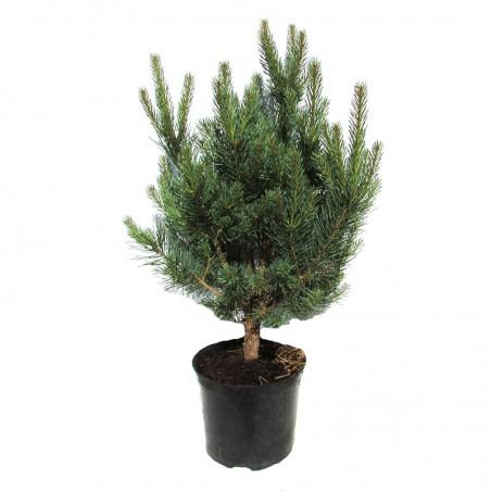 Pinus Sylvestris Nana