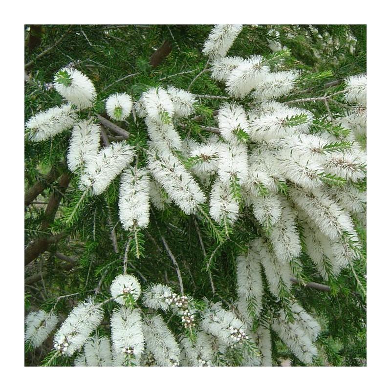 Melaleuca arborea