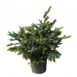 Picea bicolor acicularis