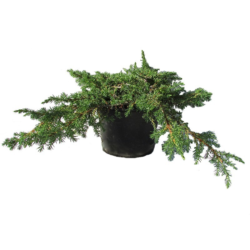 Juniperus Comunis Green Carpet