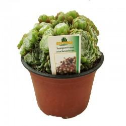 Sempervivum arachoideum