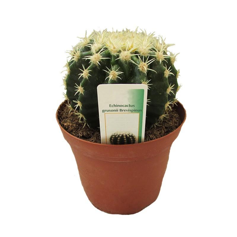 Echinocactus grusonni