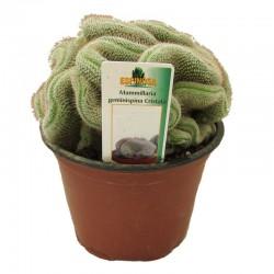 Cactus mammillaria geminispina cristata