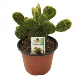 Cactus opuntia microdasys ondulata cristata