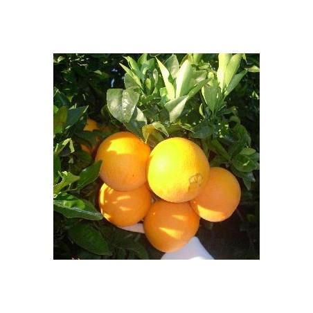 Naranjo salustiana