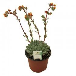 Cactus echeveria setosa diminuta
