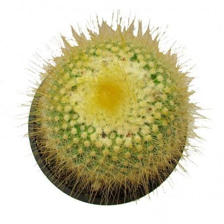 Cactus parodia chrysacanthion