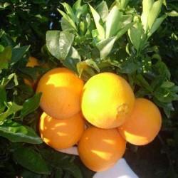 Naranjo valencia late
