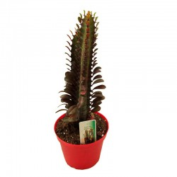 Euphorbia Trigona Roja