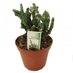 Cactus monvillea spegazzinii cristata