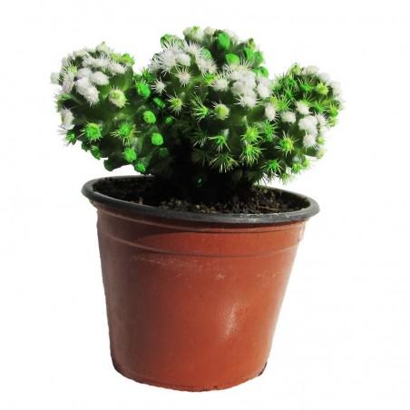 Cactus mammillaria gracilis