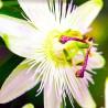 Passiflora caerulea Constance Elliot